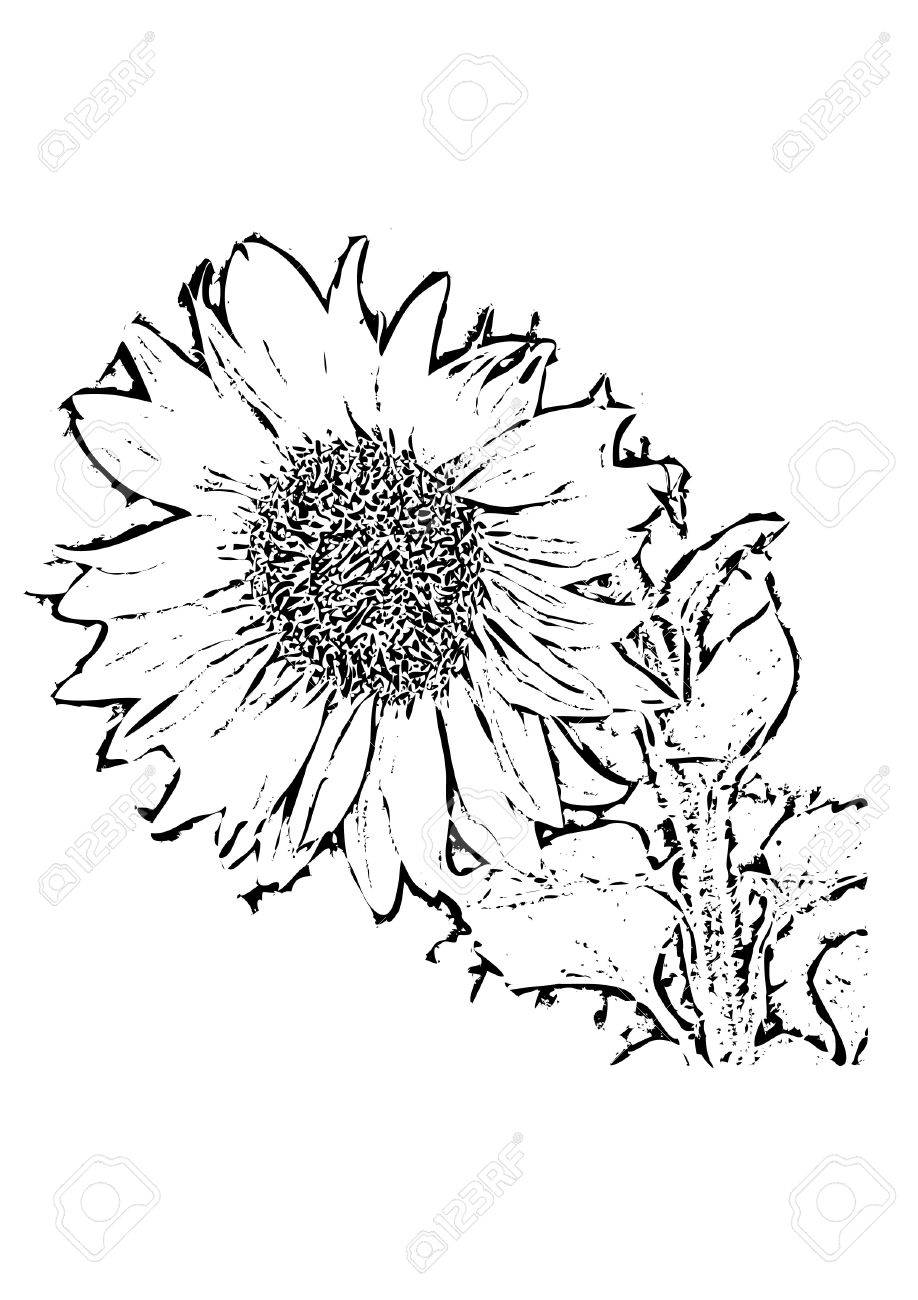 918x1300 Vector File Showing A Sunflower As Black And White Drawing Which