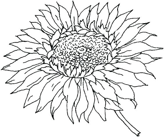 564x473 Sunflowers Coloring Pages