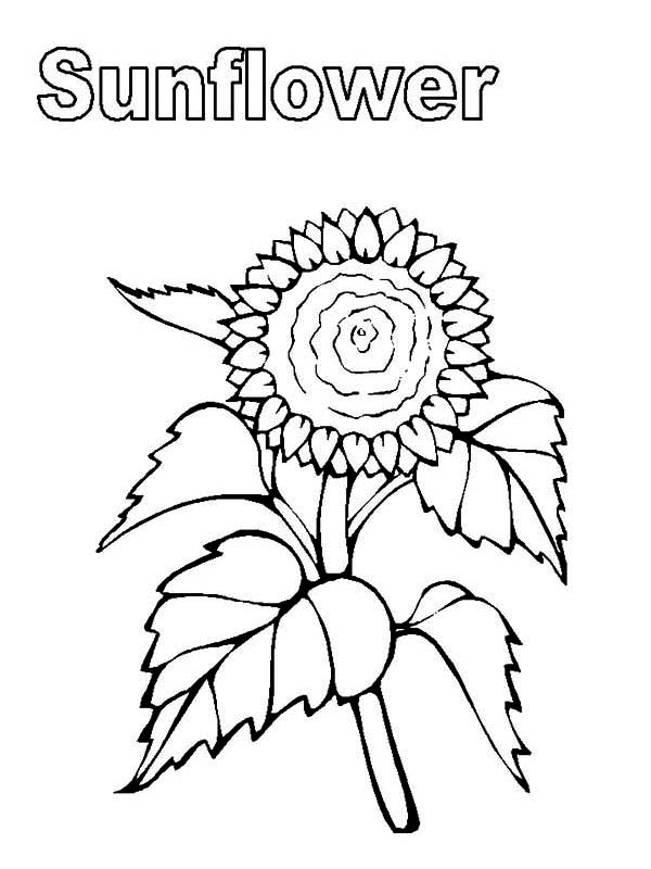 600x800 My Sunflower Coloring Page My Sunflower Coloring Page Color Nimbus