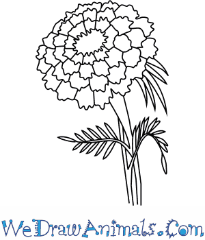 300x350 How To Draw A Marigold Flower