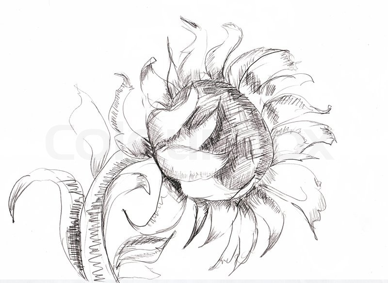 800x583 Sketch With Sunflower Stock Photo Colourbox
