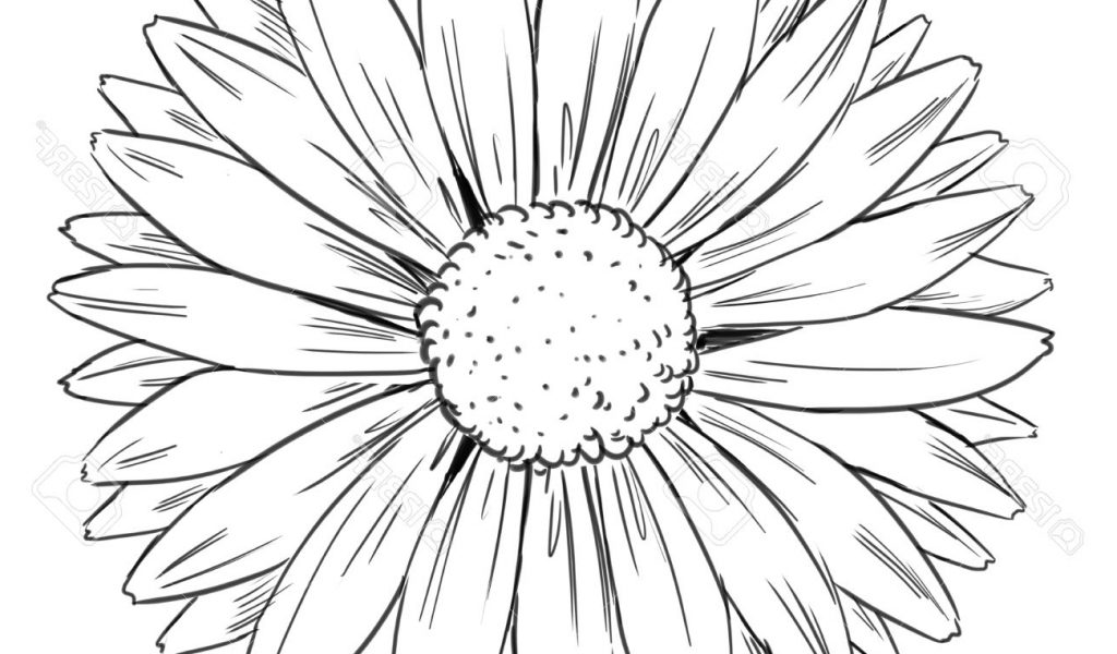1024x600 Sunflower Line Drawing