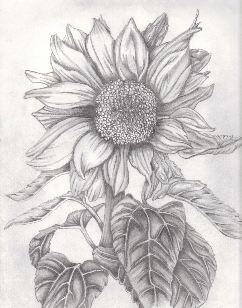 806x1024 Drawings Pictures Of Sun Flowers Pencil Sketches Sunflowers