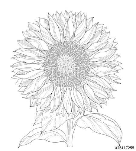 450x500 Sunflower Line Art Asolated Stock Image And Royalty Free Vector
