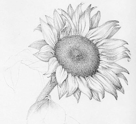 sunflower pencil drawing at getdrawings com