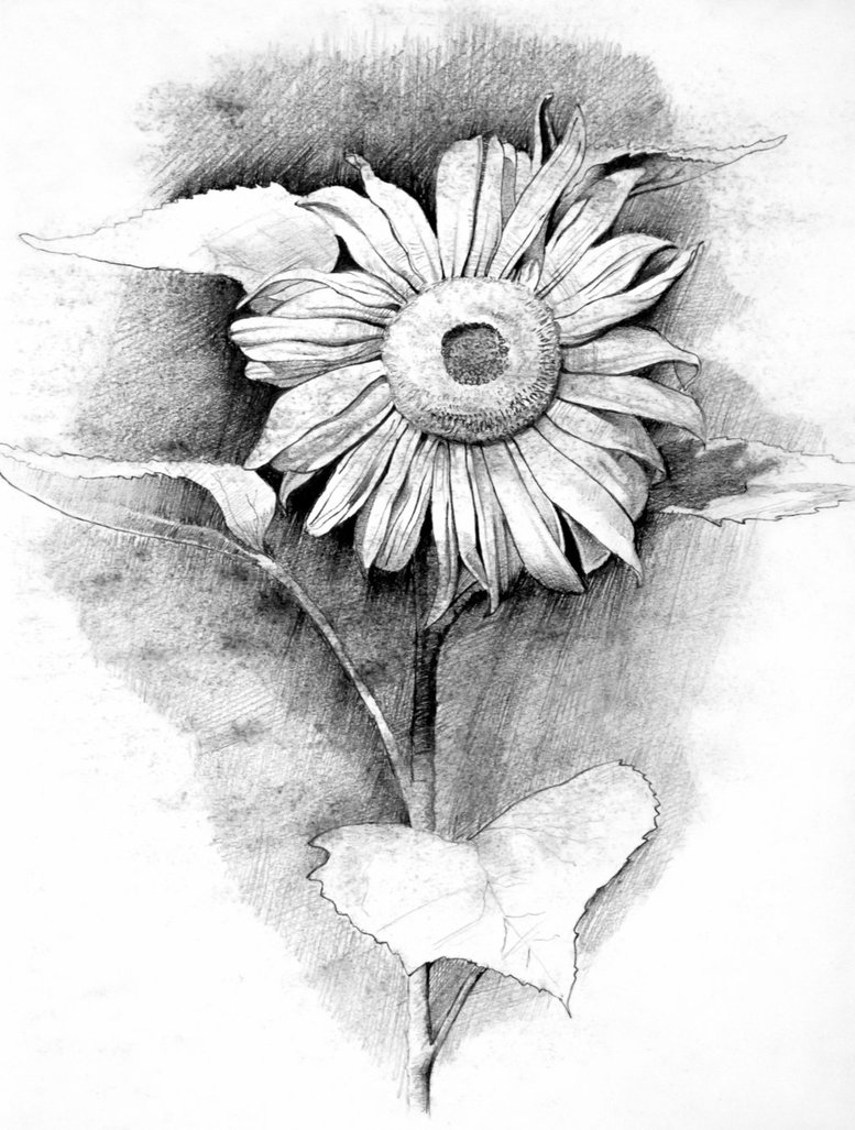 Sunflower Pencil Drawing At Getdrawings