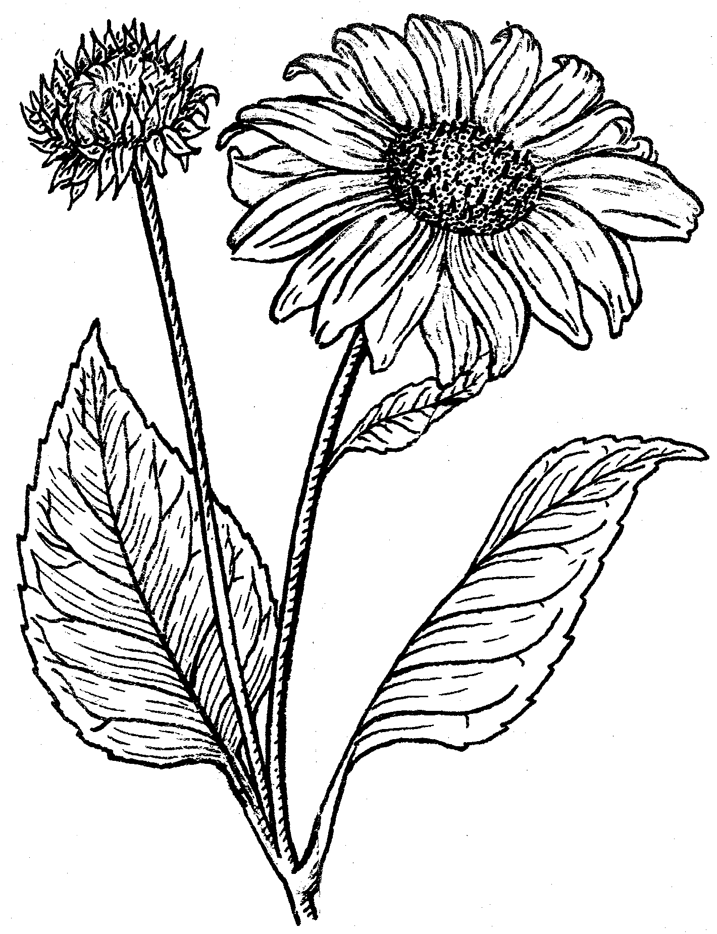 1420x1850 Filesunflower (Psf).png