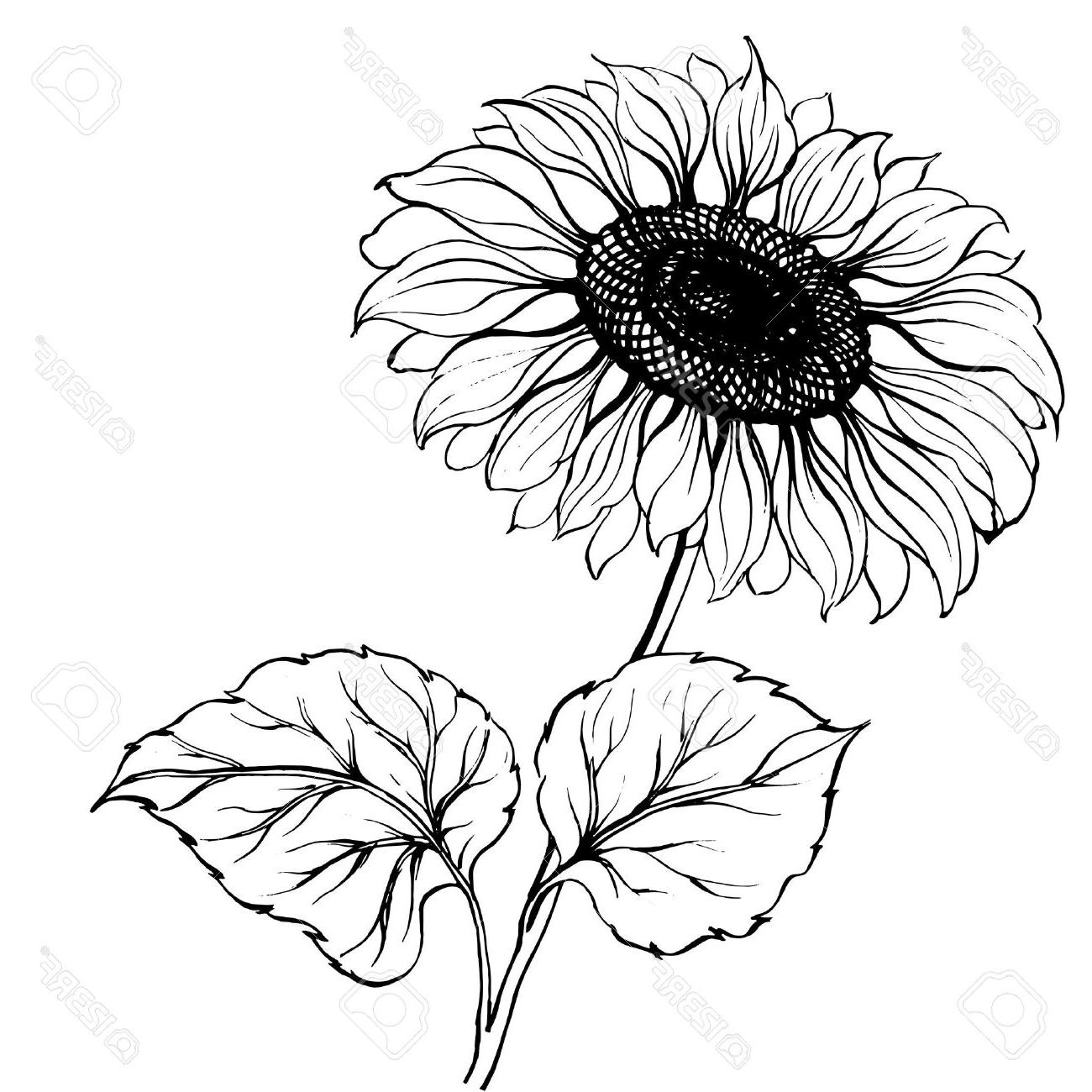 Sunflower Line Drawing : Sunflowers drawing at getdrawings free for personal