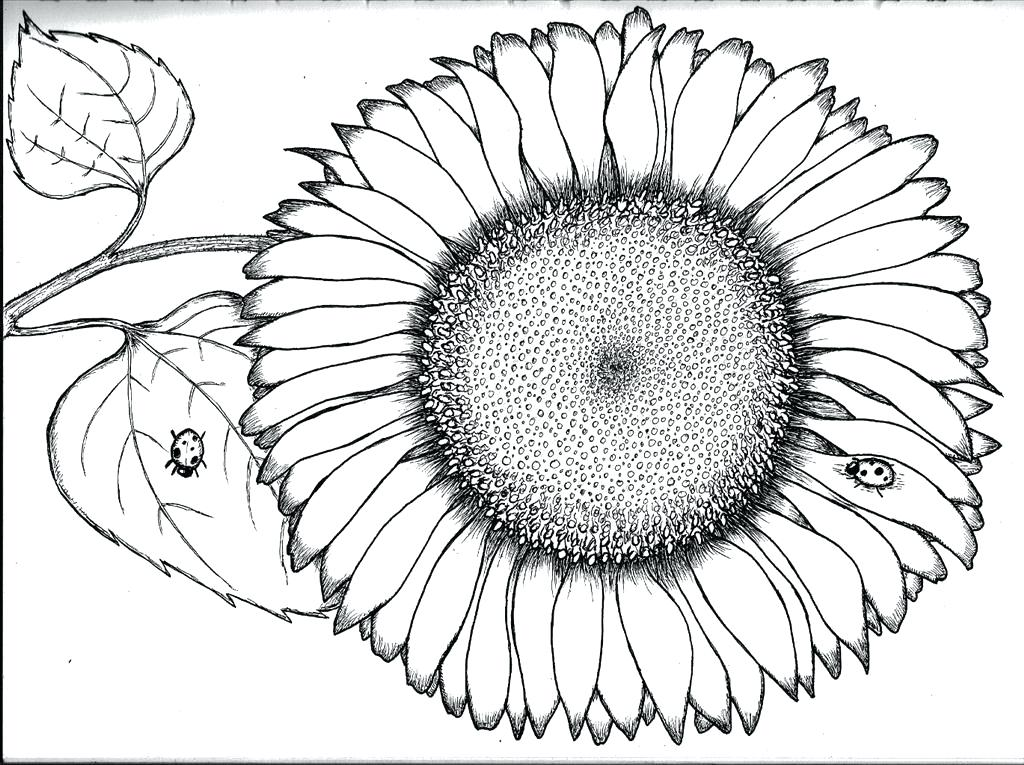 1024x765 Sunflowers Coloring Pages Synthesis.site