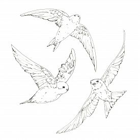 275x275 Swallows Outline Images