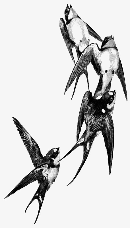 457x800 Black And White Swallow, Swallow, Bird, Sketch Png Image For Free