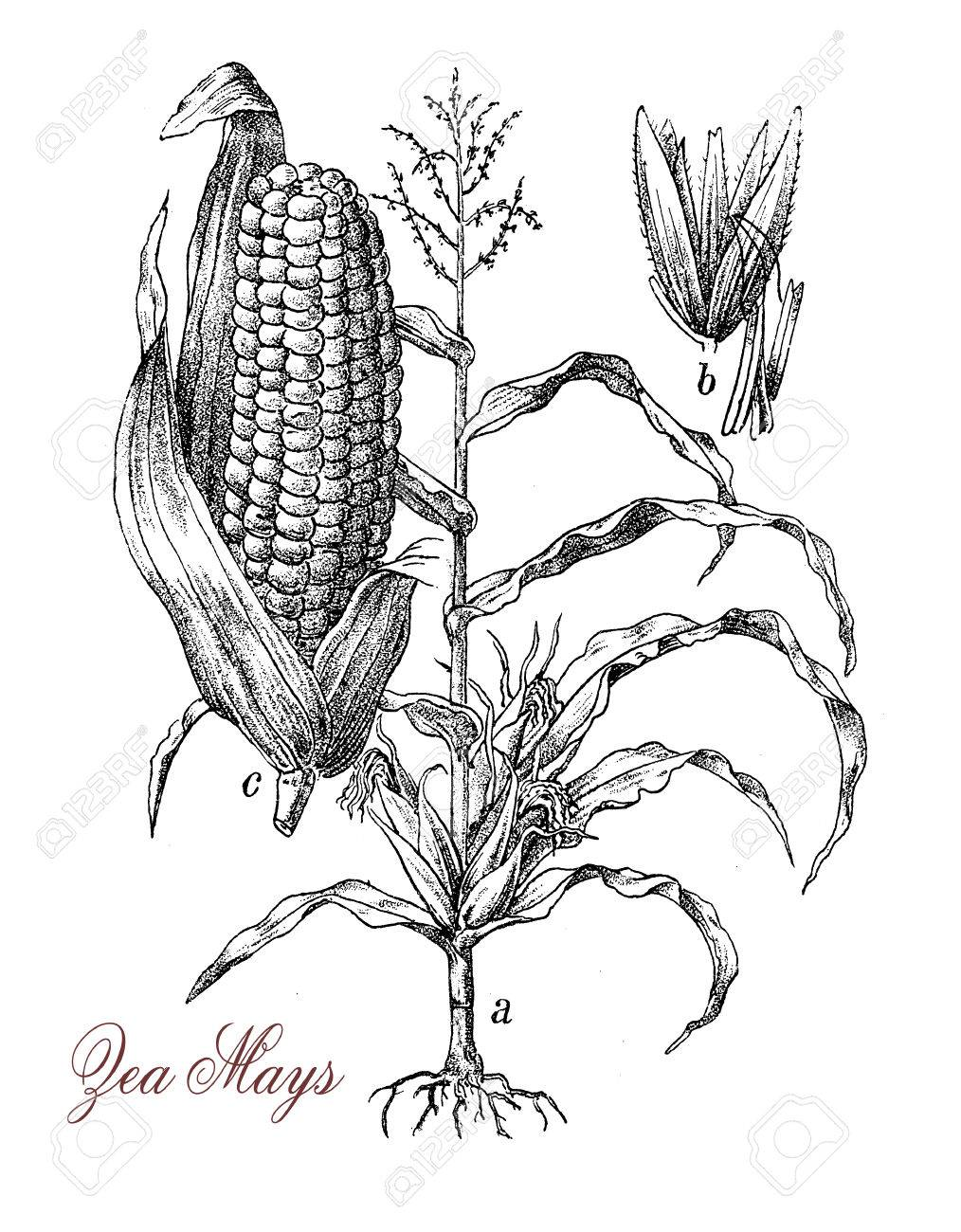 1014x1300 Corn Or Maize Is A Large Grain Plant Native Of Mexico, The Fruits