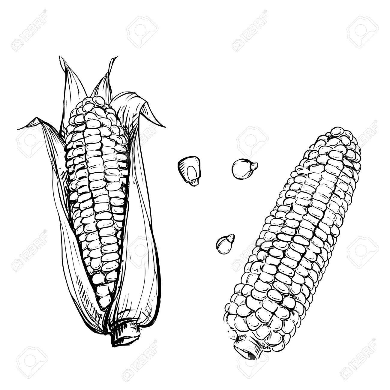1300x1300 Hand Drawn Vector Illustration Set Of Corn, Grain, Stalk. Sketch