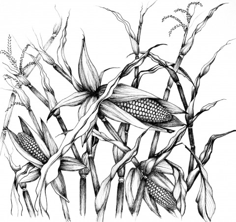 480x452 Pics For Gt Corn Plant Drawing Subject Matter Corn