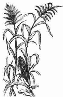 208x317 Sweet Corn Tassel