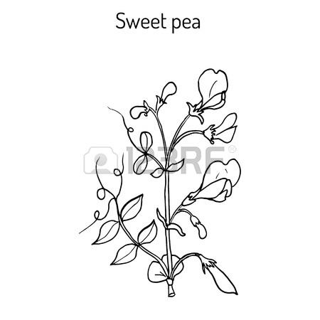 Sweet Pea Drawing