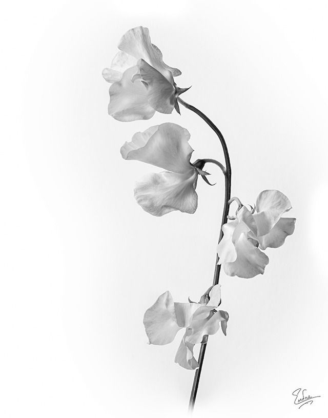 640x815 Sweet Pea Drawings Sweet Pea Flower Drawing Black And White