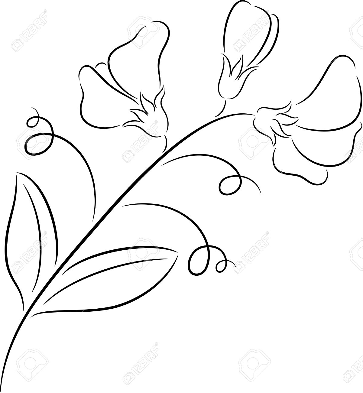 Sweet Pea Flower Drawing At Getdrawings Free For Personal Use