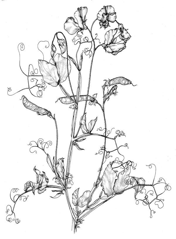 600x815 Poison Plant Illustrations