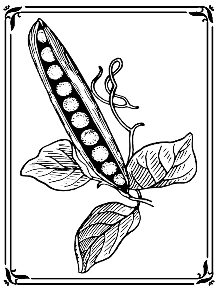 768x1024 Sweet Pea Flower Coloring Pages Realistic Coloring Pages