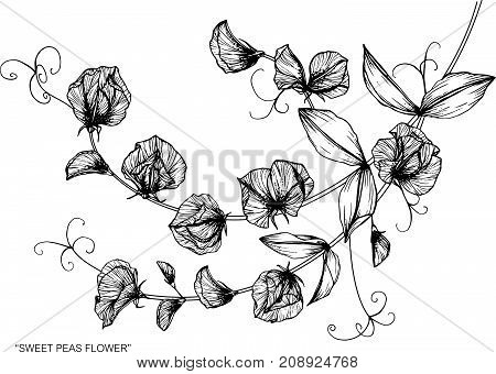 450x340 Sweet Pea Flower Images, Illustrations, Vectors