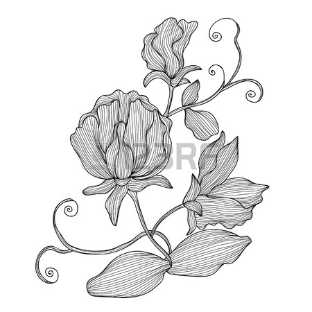 450x450 Elegant Decorative Sweet Pea Flowers, Design Element. Floral