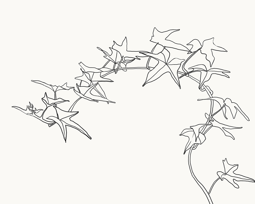 1000x800 Sweet Potato Vine. Drawing Daily Sweet Potato Vines
