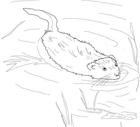 480x435 Muskrat Swimming In Pool Coloring Page Free Printable Coloring Pages