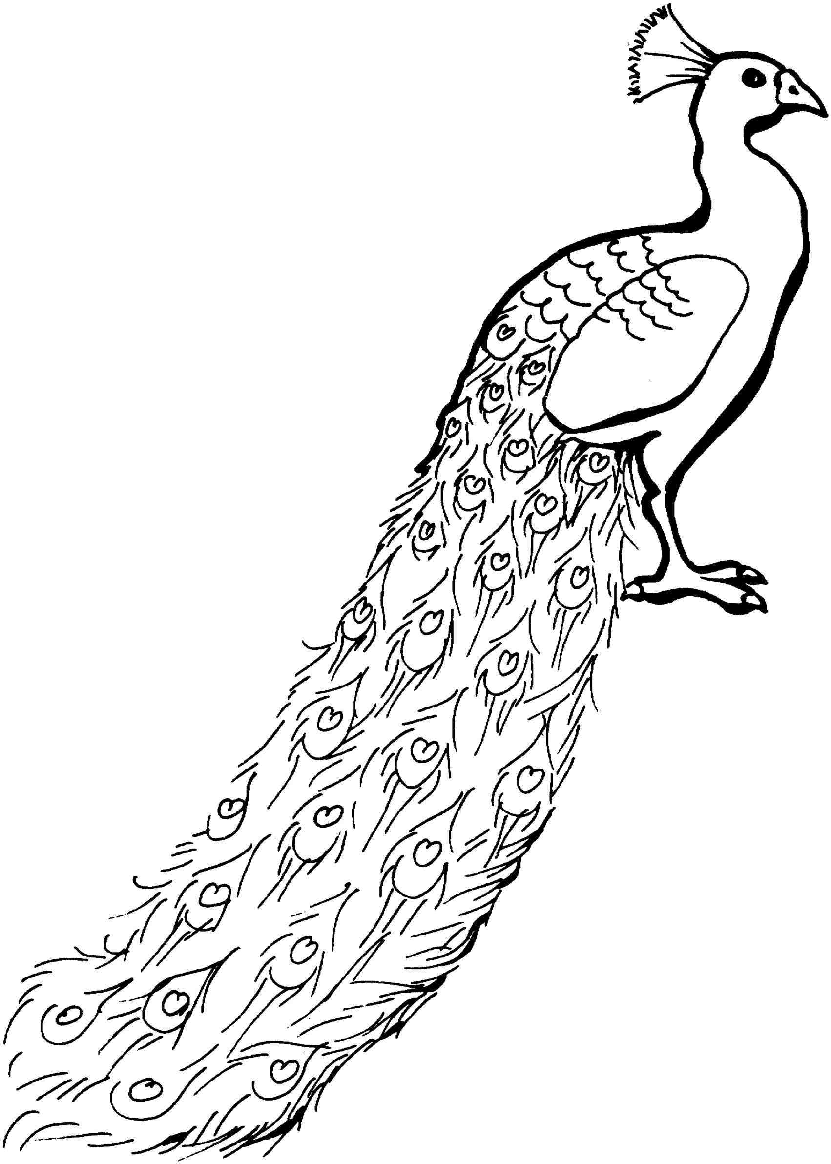 1702x2384 Peacock Black And White Drawing A Swirly Peacock Coloring
