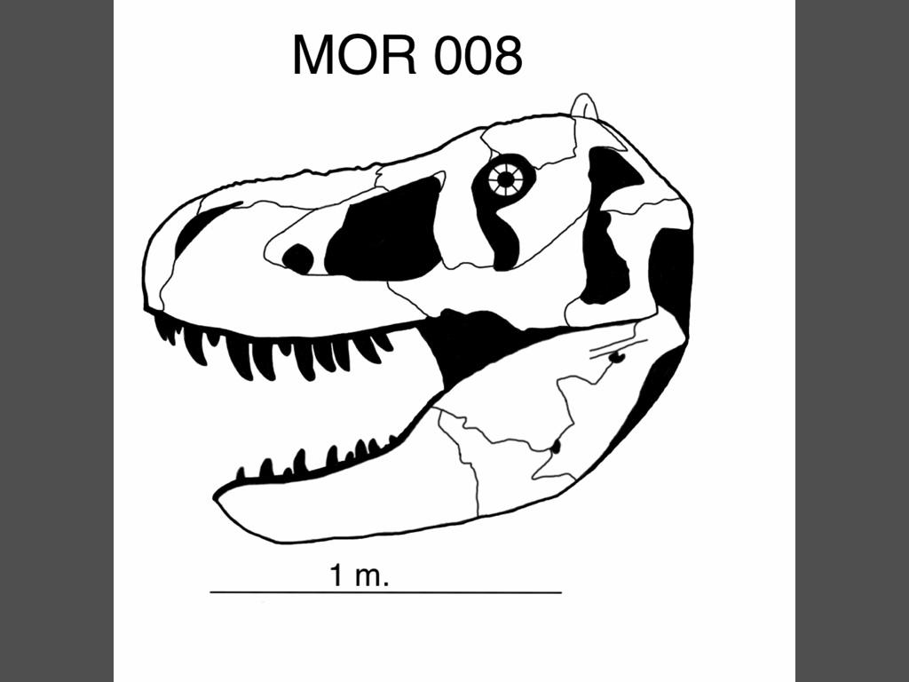 1024x768 Revised Mor 008 Skull ( Tyrannosaurus Rex) By Paleojoe