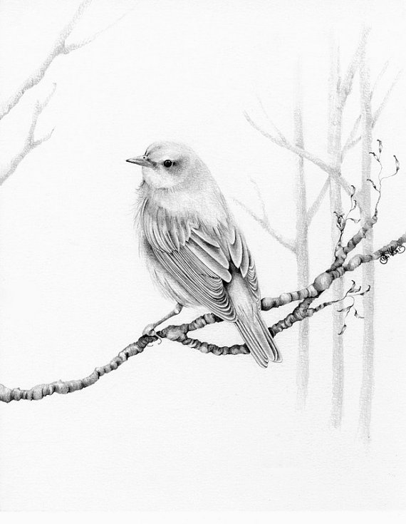 570x735 Bird Drawing Giclee Fine Art Print Of My Original Pencil Drawing