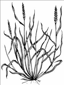 214x282 Pasture Grasses Identified