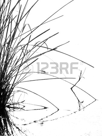 338x450 Tall Grass Silhouette Black White Stock Photo, Picture