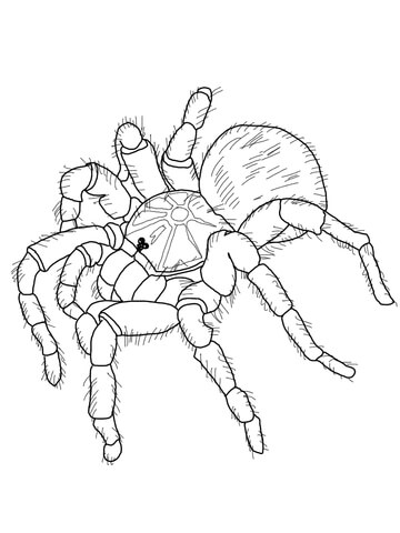 360x480 Goliath Tarantula Coloring Page Free Printable Coloring Pages