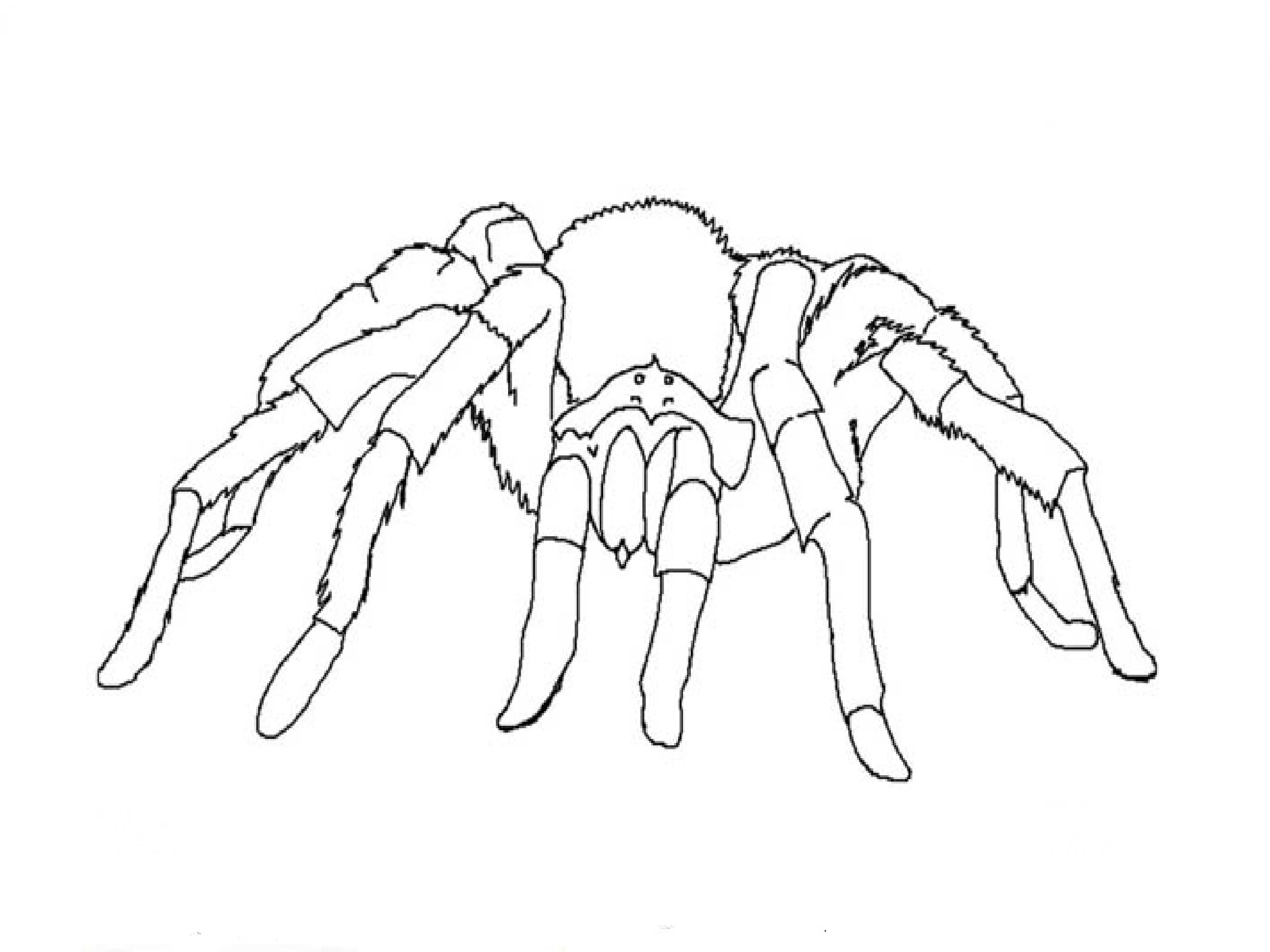 2592x1944 How To Draw A Tarantula