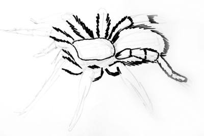 400x267 How To Draw A Tarantula