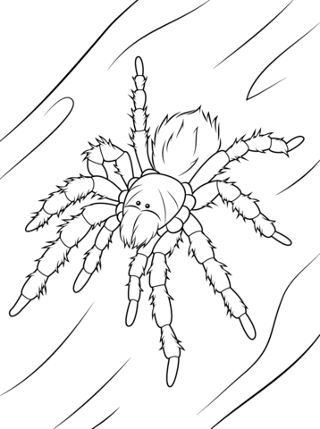 358x480 Chilean Rose Tarantula Coloring Page Free Printable Coloring Pages