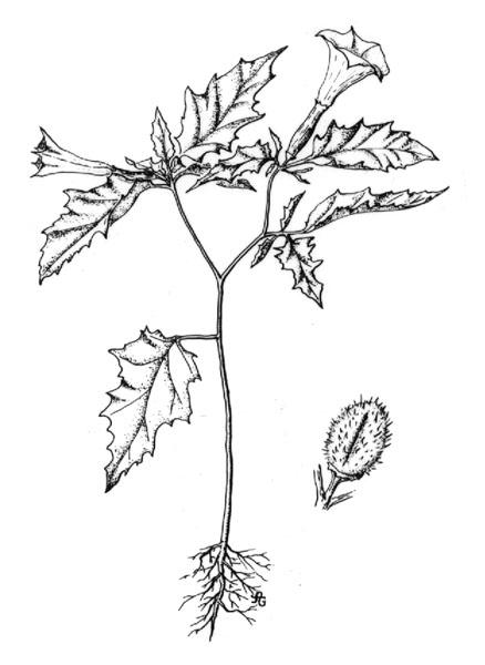 438x600 Jimsonweed (Datura Stramonium)