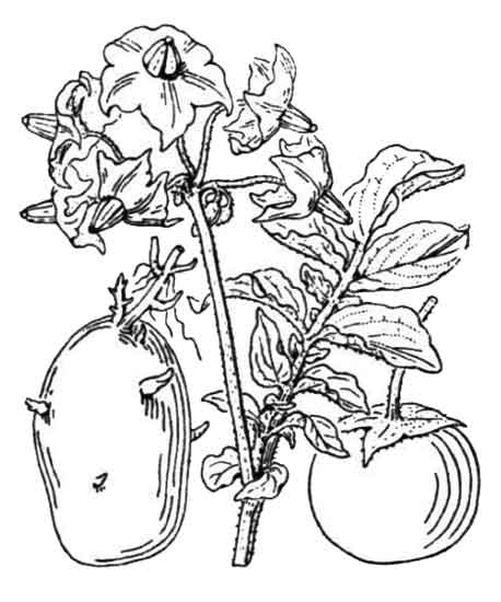 458x550 Patatas Solanum Tuberosum Potato Ma Ling Shu Philippine