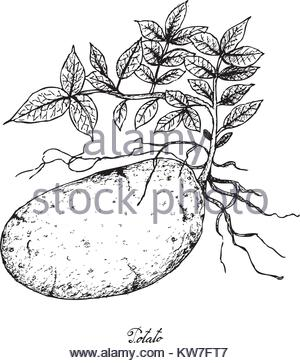 300x363 Root And Tuberous Vegetables, Illustration Hand Drawn Sketch