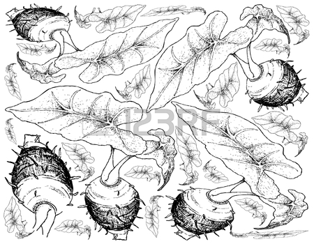 450x350 61 Taro Root Stock Illustrations, Cliparts And Royalty Free Taro