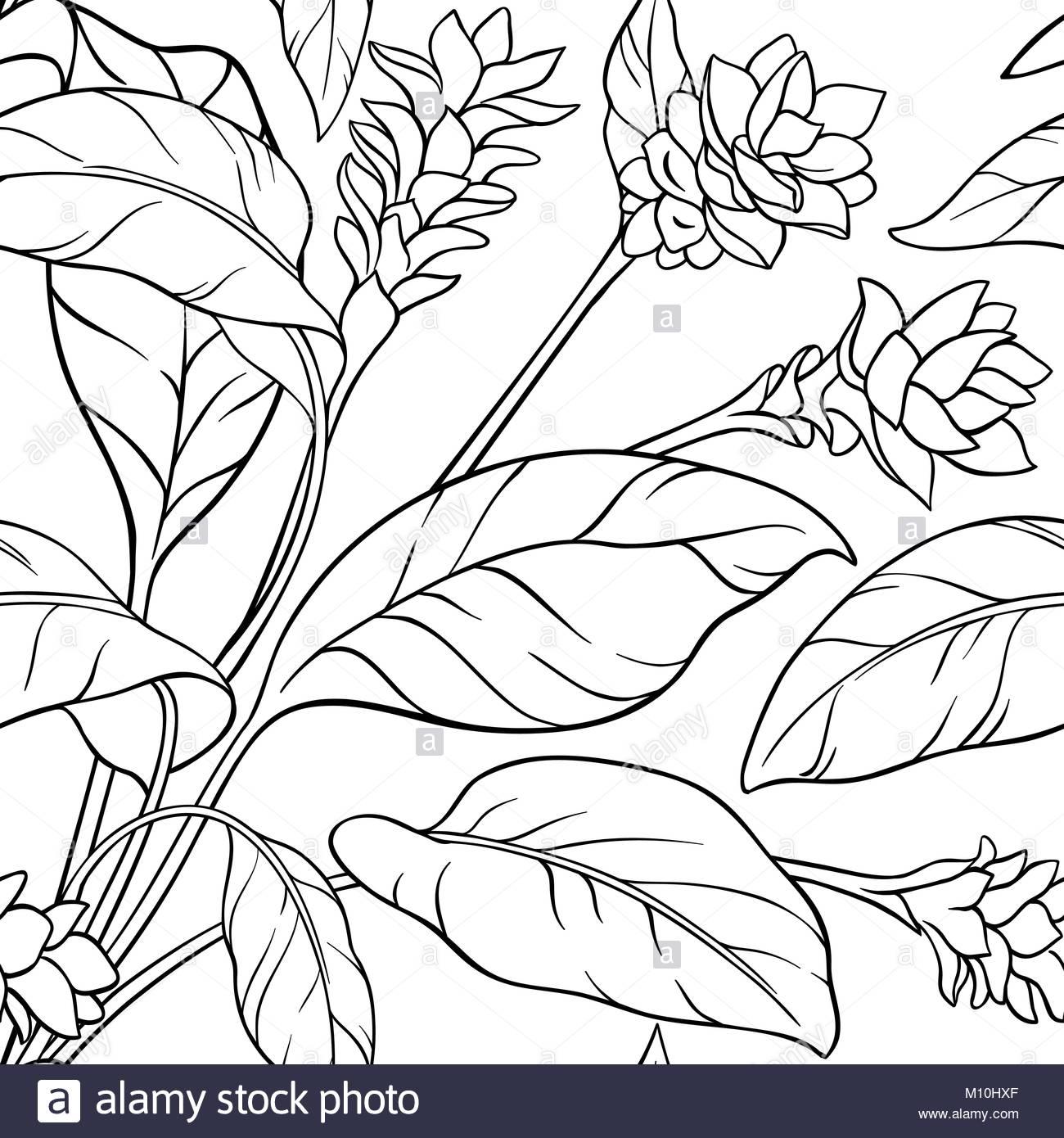 1300x1390 Turmeric Plant Illustration Stock Photos Amp Turmeric Plant