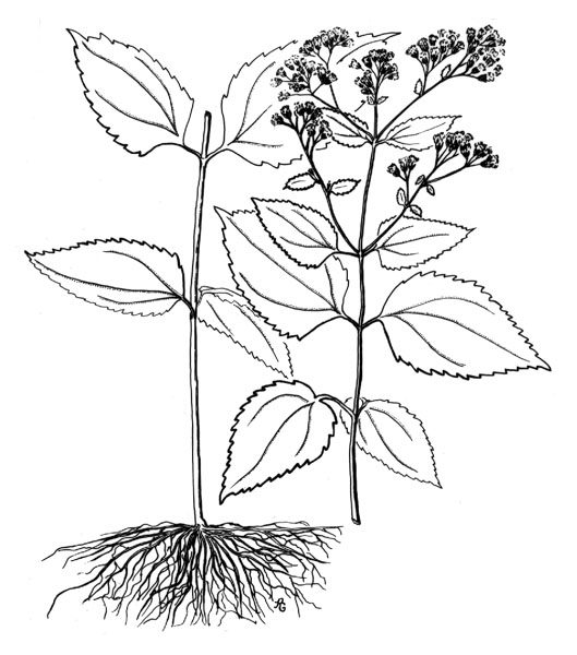 529x600 White Snakeroot (Eupatorium Rugosum)