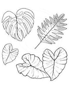236x305 Kalo Plant Drawing