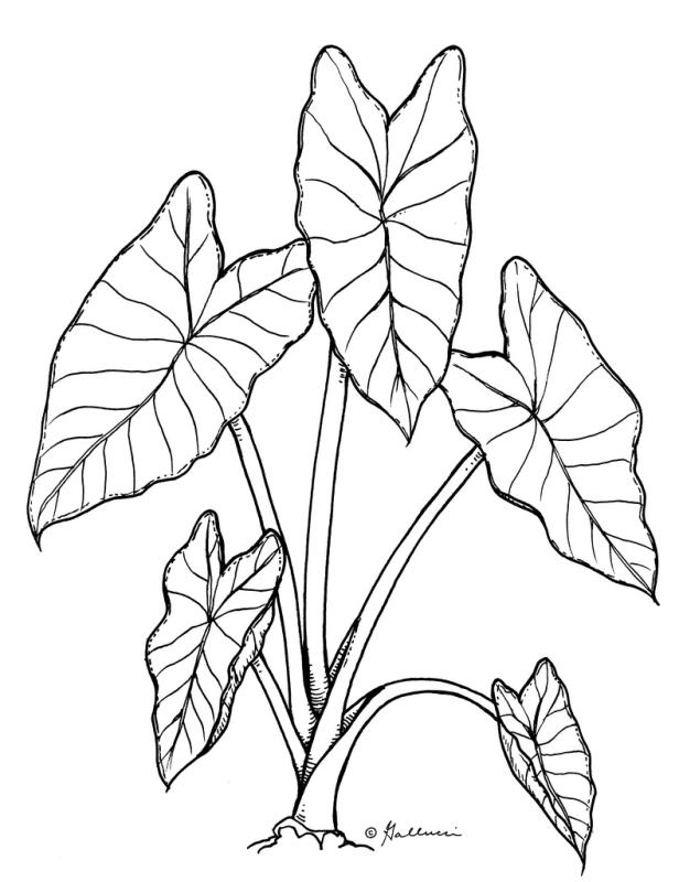 616x800 Taro Leaf Clip Art