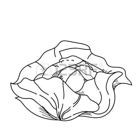 450x450 Freehand Drawing Illustration Vegetable Cabbage. Stock Photo