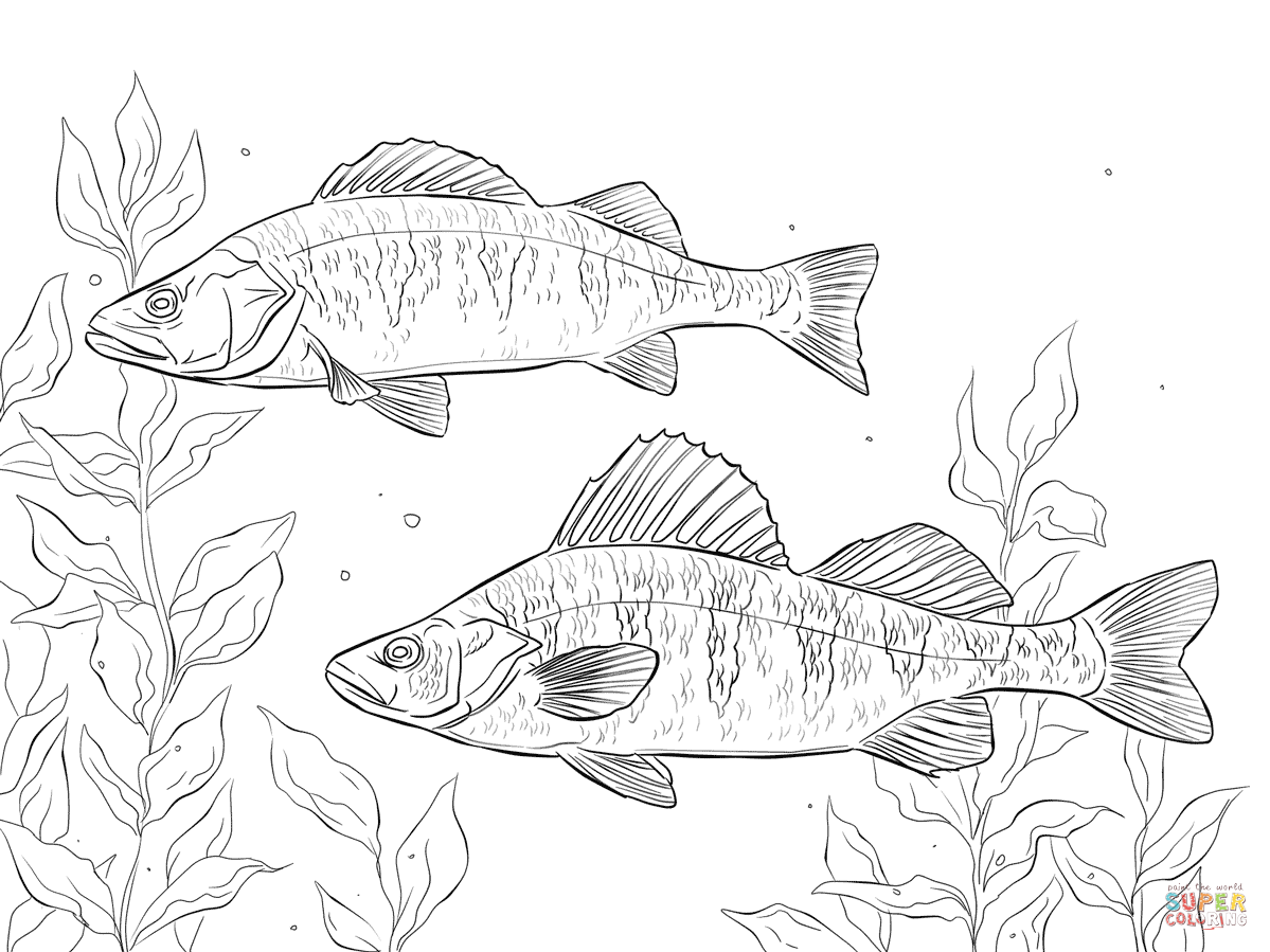 1199x899 Perch Coloring Pages Free