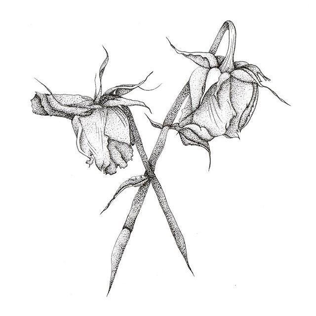 640x640 Dotwork Roses Drawing Illustration On Instagram