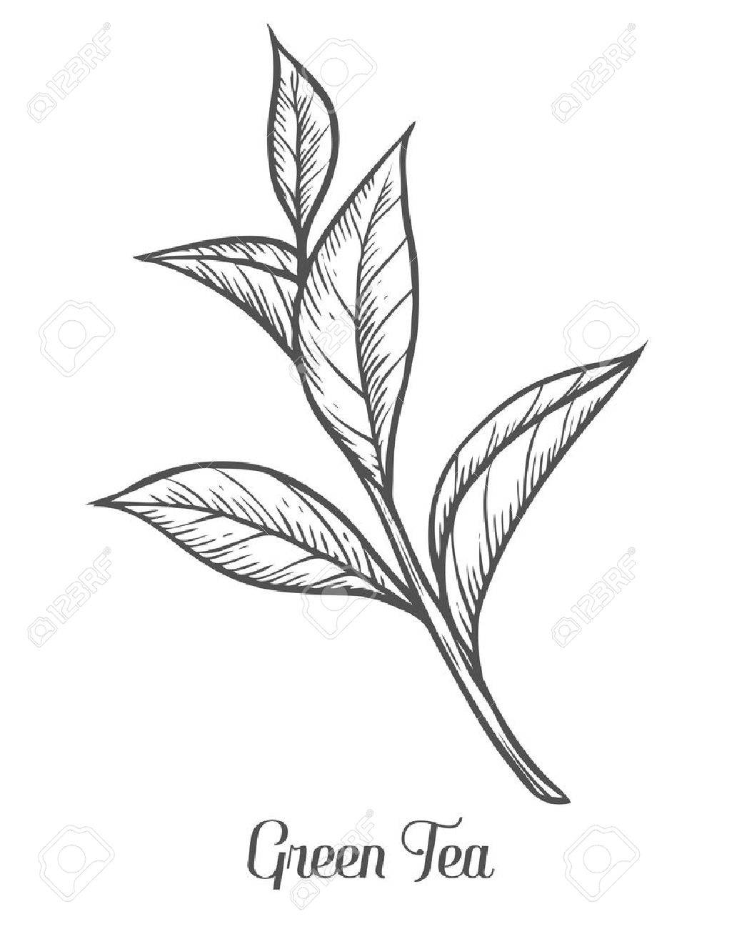 Tea drawing at getdrawings free for personal use tea drawing 1039x1300 green tea plant leaf hand drawn sketch vector illustration thecheapjerseys Image collections