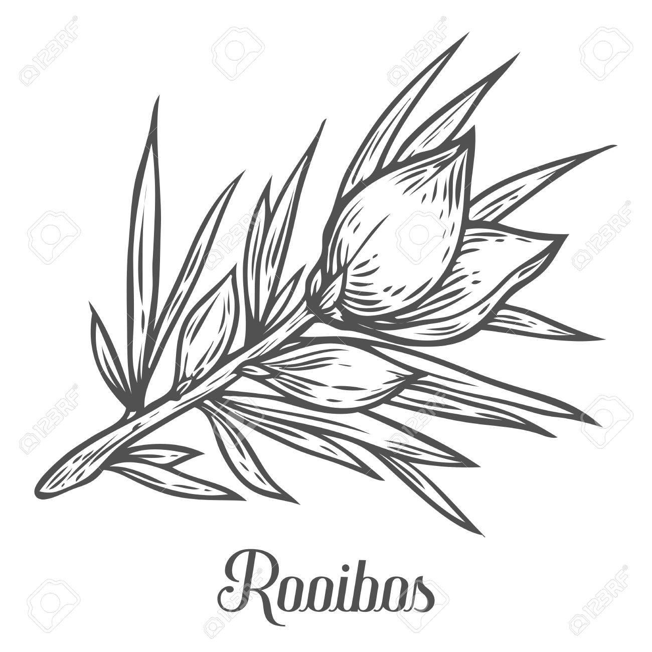 1300x1300 Rooibos Tea Plant Leaf Hand Drawn Sketch Vector Illustration